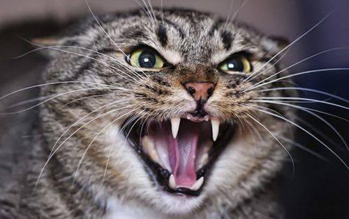 У Черкасах скажена кішка покусала жінку