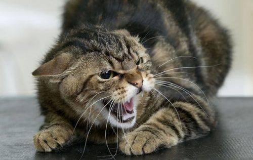 На Черкащині скажена кішка покусала 4 людей