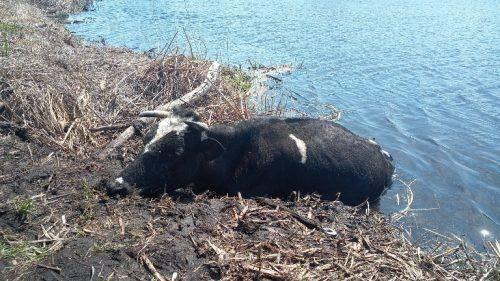 На Черкащині рятували корову Майю, яка ледь не потонула у річці (фото)
