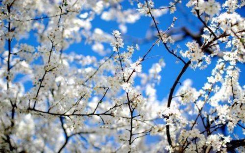 Через теплу погоду на Черкащині можуть передчасно розквітнути дерева