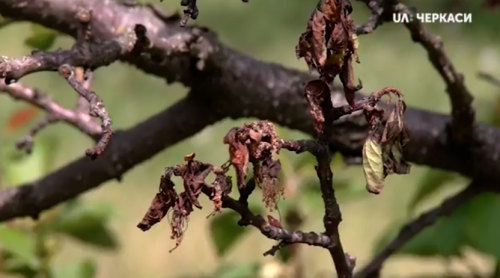 На Черкащині втрачено 60 відсотків урожаю абрикос (відео)