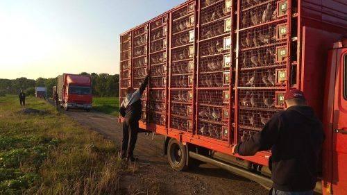 На Черкащині румуни випустили понад 80 тисяч голубів (фото, відео)