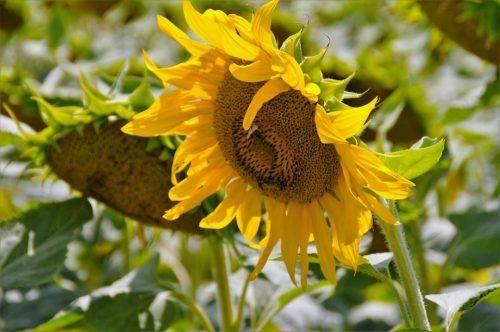 Як дощі та прохолодна погода вплинули на формування врожаю на Черкащині