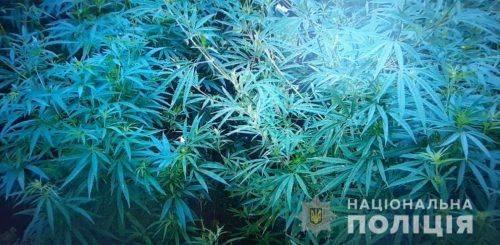 Неподалік центру Черкас виявили плантацію коноплі (фото)