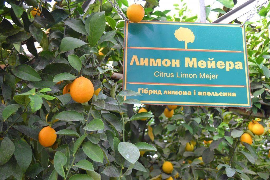 У лісництві на Черкащині вирощують лимони