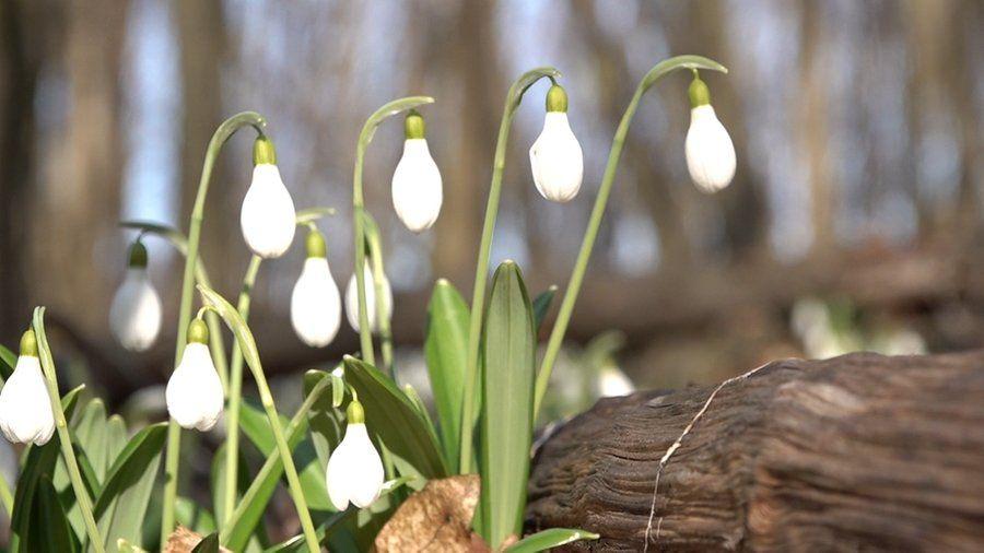 У Холодному Яру, що на Черкащині, розквітли первоцвіти