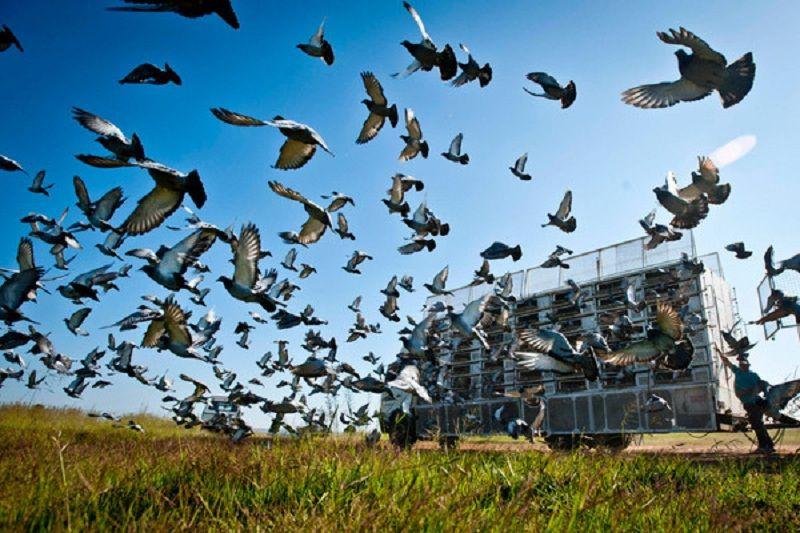 Перші голубині перегони цього року стартують в Умані