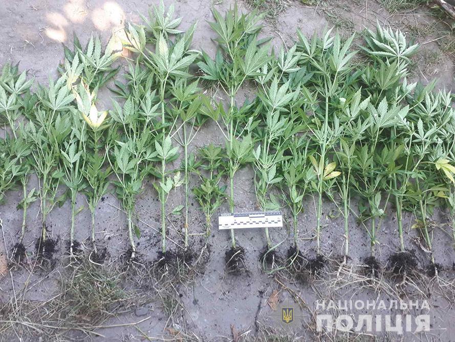 За добу на Черкащині ліквідували два посіви конопель (фото)