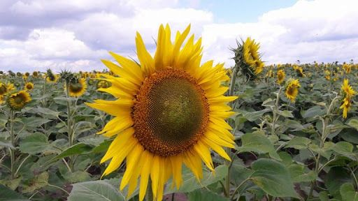 На Черкащині виявили рослинне захворювання, яке знищує урожай соняшнику