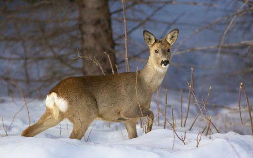У Канівському заповіднику бродячі собаки загризли 15 козуль